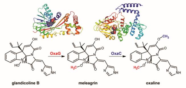 meleagrin-oxaline